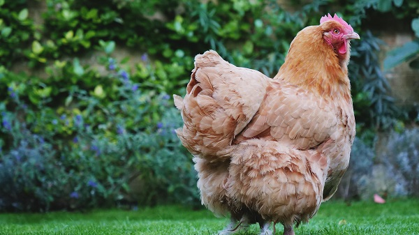 Farming with Chickens - A Guide to Successful Chicken Farming