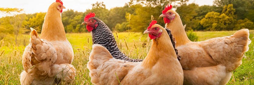 How to start your own chicken Farm in simple English