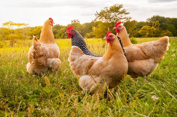 How profitable is small scale chicken farming