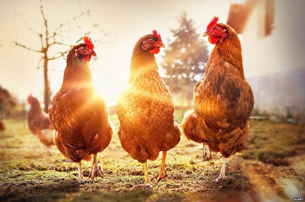 How many Chickens do you need to start Farming
