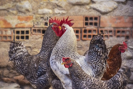 How to prevent Chicken Diseases