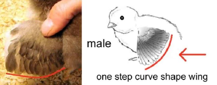 3 Ways to tell if your chicken is Male or Female